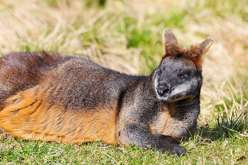 Stoned Opium Loving Wallabies a Big Problem at Australian Pharmaceutical Opium Farms