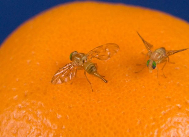 No Sex = More Drinking (Among Fruit Flies Anyway)