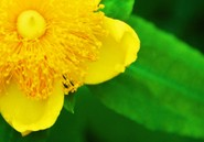 St John's Wort for Depression (Hypericum Perforatum L.)
