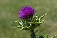 Considering Milk Thistle for Alcoholic Liver Disease – an Overview and Review of the Evidence
